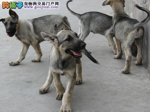 黑龙江狼青价格哈尔滨纯种狼青多少钱黑龙江哪里卖狼青
