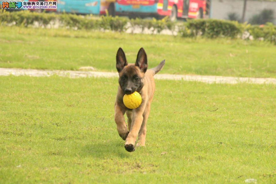 军犬警犬最可爱的朋友比利时纯种血统马犬出售 签协议