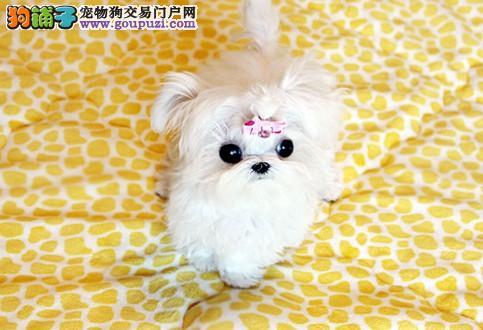 最受欢迎的马尔济斯犬幼犬西城出售价格优惠