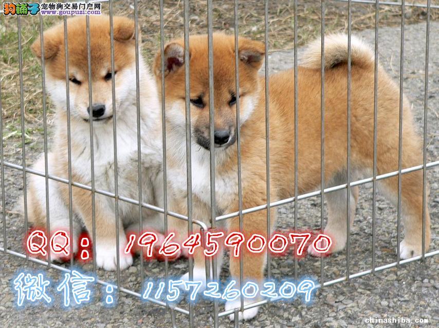 柴犬怎么样 柴犬多少钱 哪里的柴犬好 纯种柴犬
