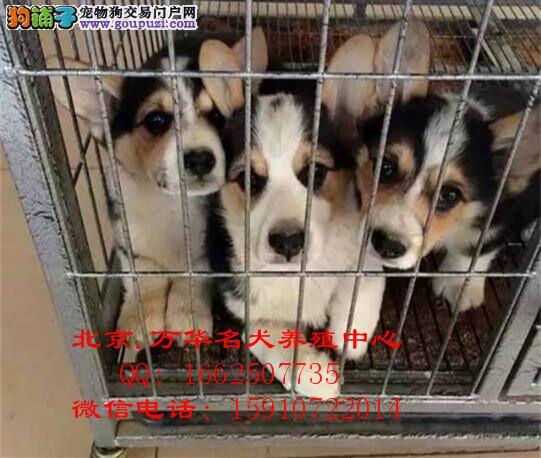 柯基犬繁殖基地出售两色三色柯基宝宝 纯种健康
