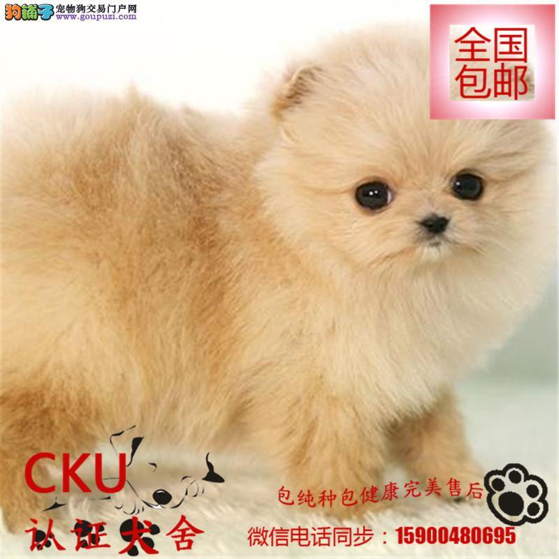 双血统聪明伶俐博美犬幼犬出售保纯保健康免费训练指导