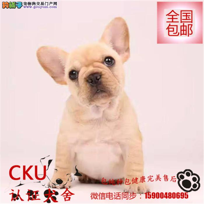 出售纯种法国斗牛犬纯种幼犬可爱宠物犬多色可选法
