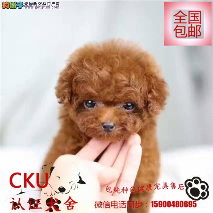出售顶级可爱泰迪贵宾 赛级宠物级完美体型可爱至极