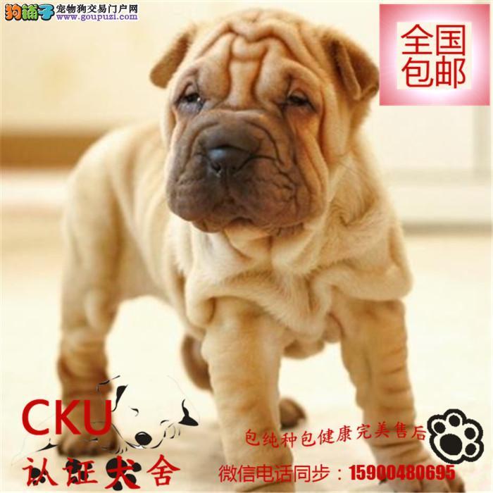 纯种沙皮狗幼犬质保三年品质保证终身指导饲养可签协议