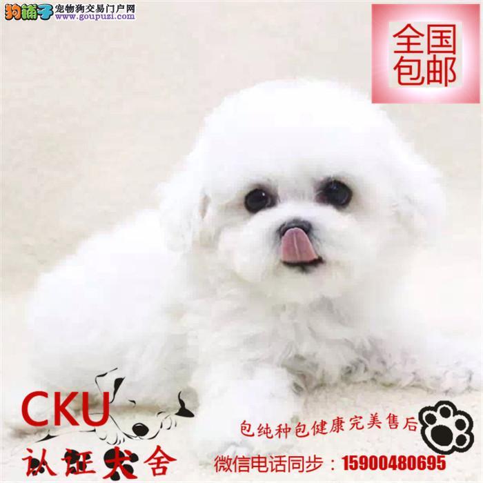 犬舍出售大眼睛甜美脸型法系小体大毛量纽扣眼比熊幼犬
