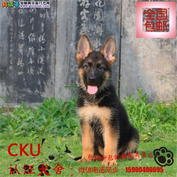 专业繁殖纯种极品狼狗幼犬、品质健康保证 欢迎选购