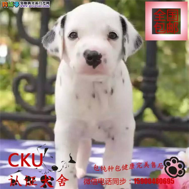 犬舍出售斑点狗实物拍摄/纯种健康质保三年可签协议