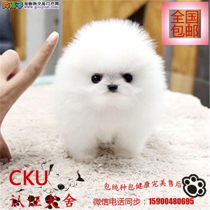 出售纯种博美幼犬宝宝 可爱健康 质量保证 欢迎选购