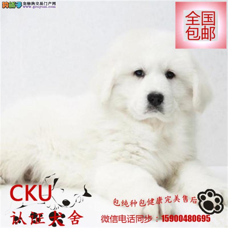 犬舍出售高品质纯种大白熊犬 保证纯种健康可签协议