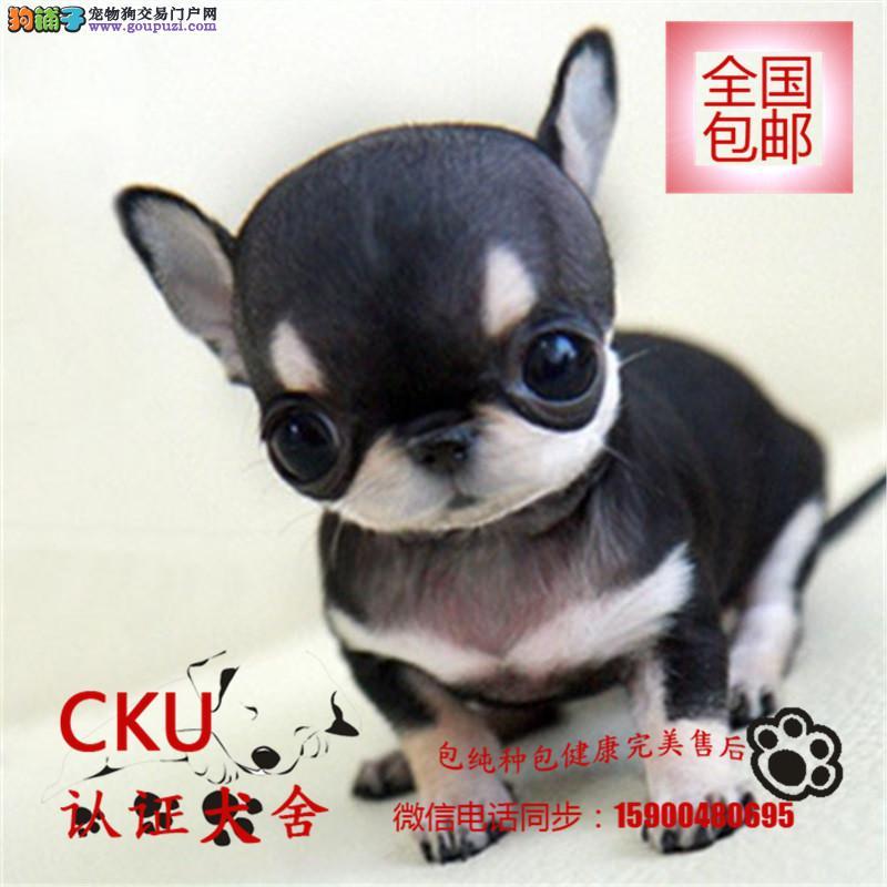 出售纯种小鹿犬幼犬宝宝 可爱健康 质量保证 欢迎选购