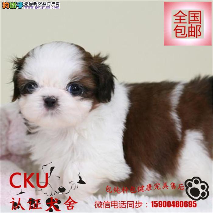 CKU犬舍出售精品纯种西施犬 女神必备24小时在线咨询