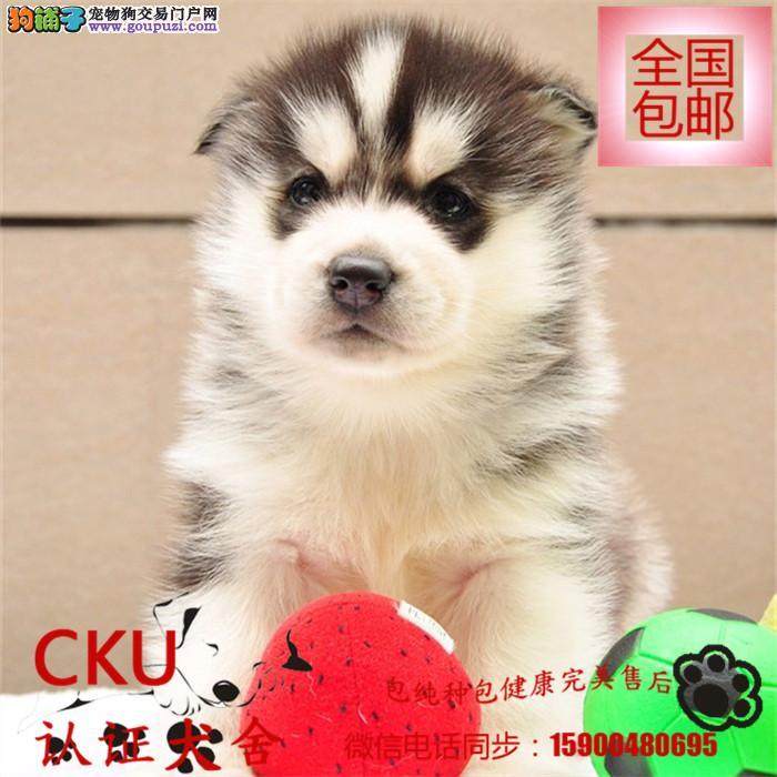 出售纯种纽芬兰幼犬宝宝 可爱健康 质量保证 欢迎选购