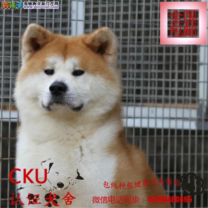 犬舍出售忠犬八公原形精品日系秋田犬包纯种包90天健康