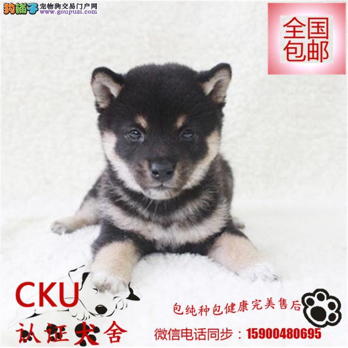 出售纯种柴犬幼犬宝宝 可爱健康 质量保证 欢迎选购