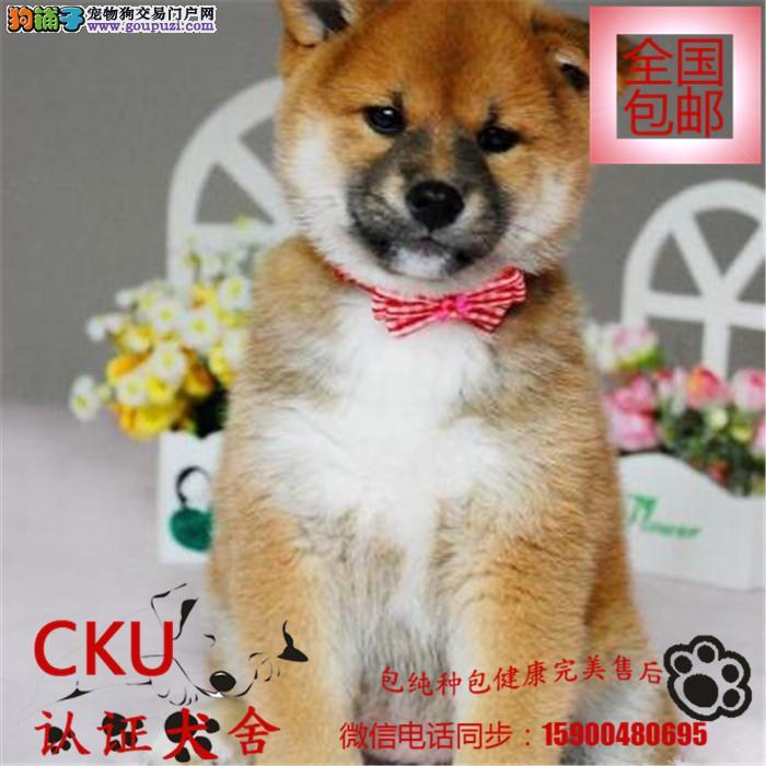 诚信交易、纯种日系柴犬健康终身保障、签协议送狗用品