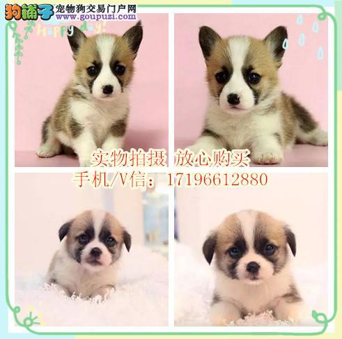 CKU犬舍繁殖出售双色三色柯基犬 带证 可签协议