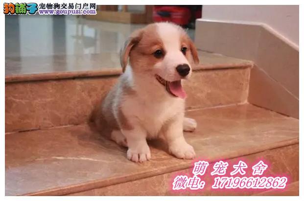 实拍纯种威尔士柯基犬幼犬,可爱的我,等待任性的你