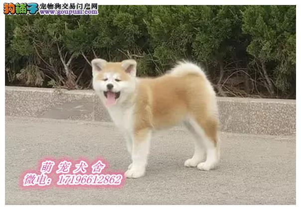 实拍秋田犬 品质有保障 信誉售后服务 狗场直销
