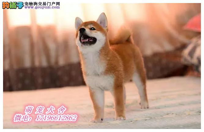 纯种日本柴犬一包纯种包健康一可到基地直接挑选