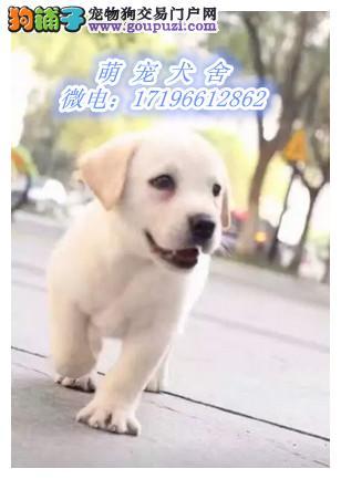 精品拉布拉多犬,包纯种健康,欢迎来选
