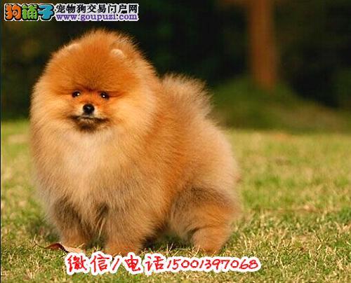 包纯种包健康养活俊介犬高品相哈多利版球体博美