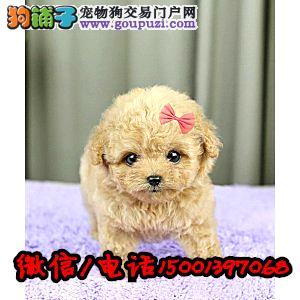 自家繁殖的玩具体茶杯体泰迪宝宝,北京免费送货