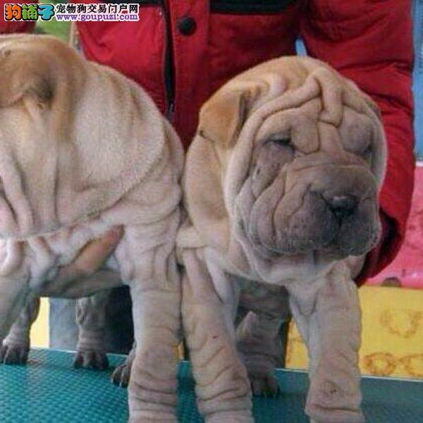 犬舍出售精品沙皮犬疫苗驱虫齐全 包养活健康