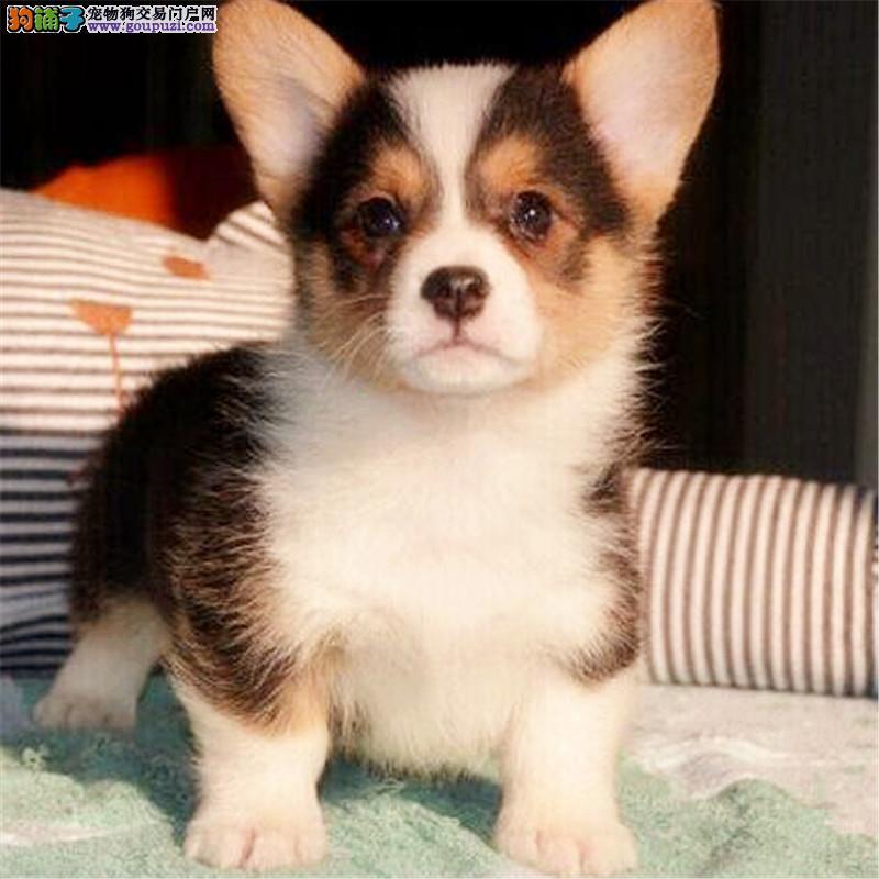 犬舍直销柯基幼犬 高品质纯种赛级犬 疫苗驱虫已做
