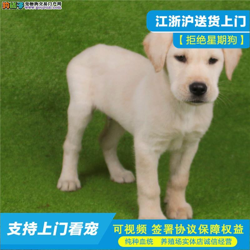 赛级拉布拉多幼犬证书齐全血统纯正一送用品签协议