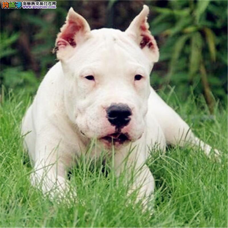 专业繁殖杜高幼犬 犬舍直销血统健康均有保障