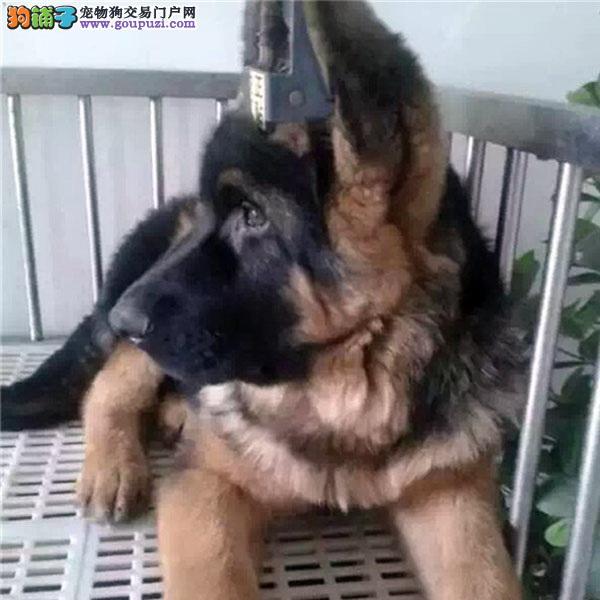 基地直销、极品德国牧羊犬、纯种黑背、专业缔造