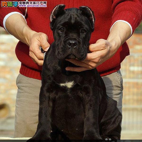 正规犬舍 纯种卡斯罗三个月龄 公母齐 三包