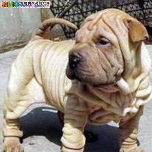 纯种沙皮沙皮犬保证纯种健康 终身质保饲养指导