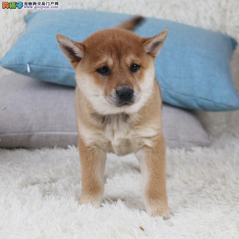 专业养殖纯种日本小柴犬 聪明而且可爱 可上门挑选