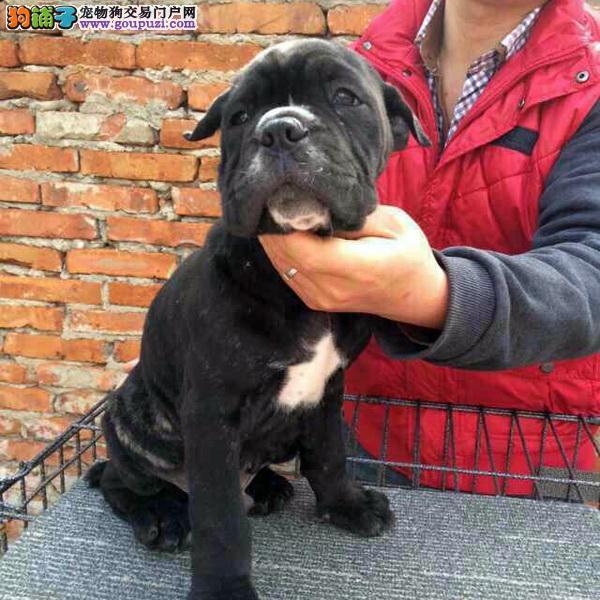纯种犬繁殖基地出售卡斯罗幼犬 疫苗做齐签订协议