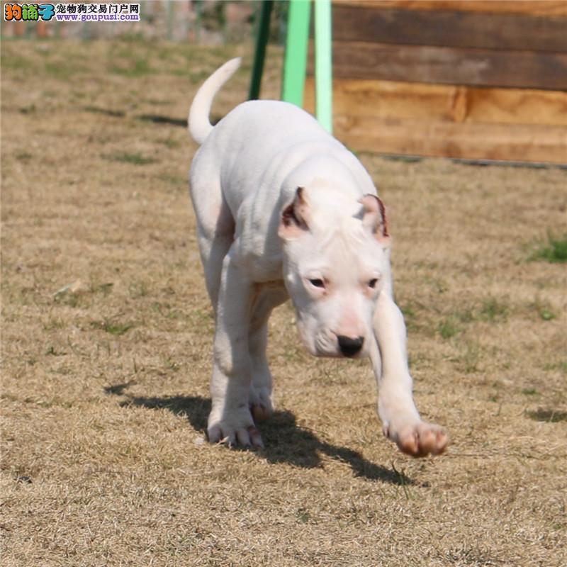基地出售纯种杜高杜高幼犬赛级杜高犬 已做疫苗驱虫