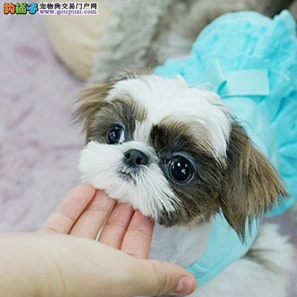 精品小体西施犬 尊贵犬种,高端伴侣犬 玩赏犬