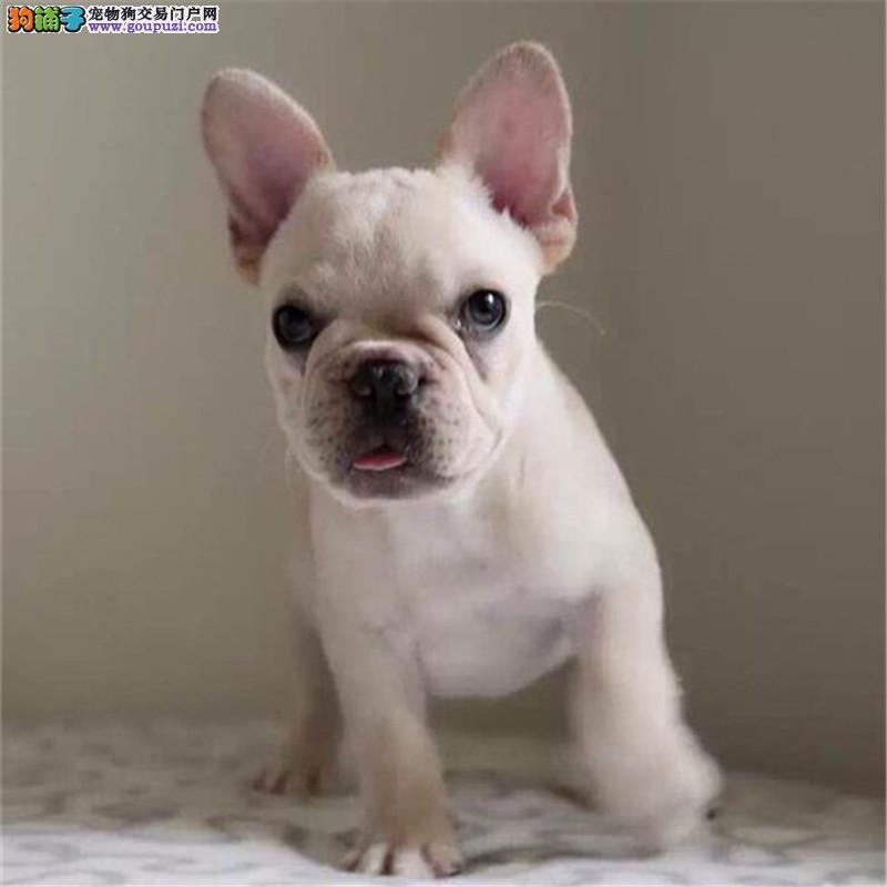 纯种法国斗牛犬 CKU认证犬舍直销 多只可以选择