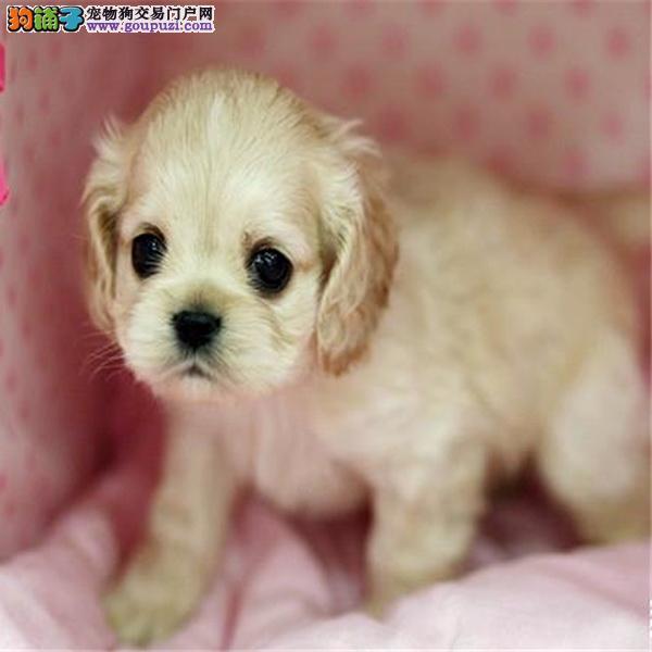 犬舍直销 纯种可卡幼犬 活泼可爱 萌翻人的可卡