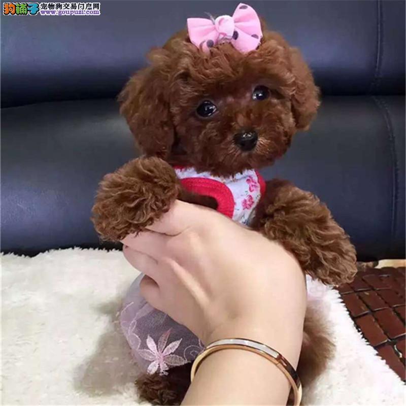 小小哒 萌萌哒 卷毛小体玩具泰迪 十分健康可爱