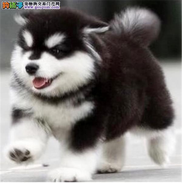 出售纯种阿拉斯加雪橇犬,巨型阿拉斯加幼犬