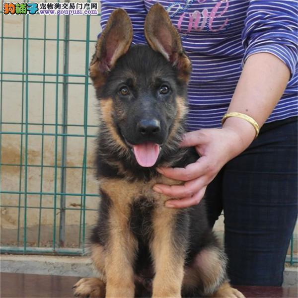 纯种犬繁殖基地出售德牧幼犬/赛级后代/健康质保