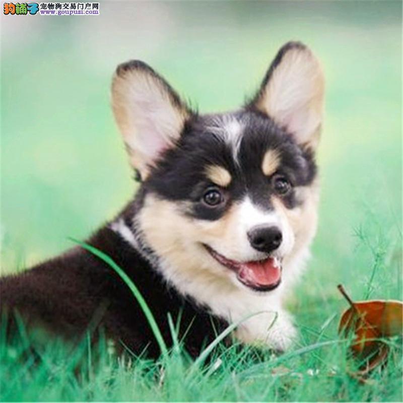 卡迪根威尔士柯基犬带证书出售中 终身免费饲养指导