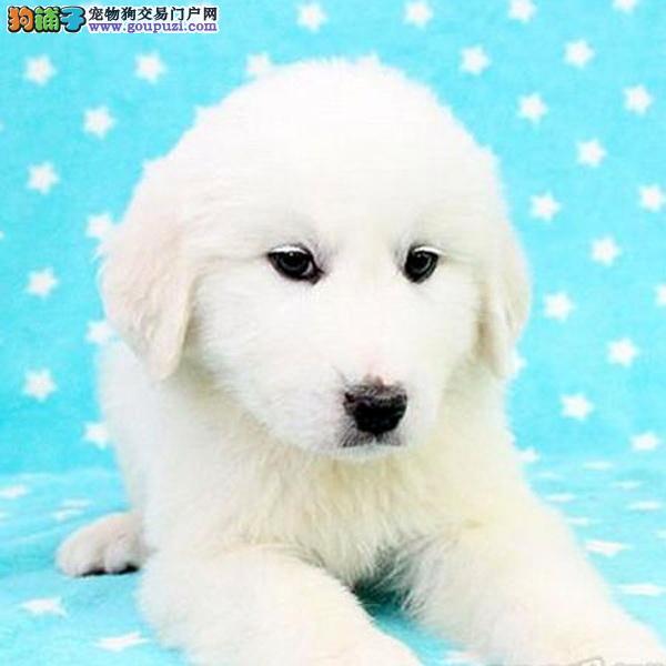 巨型犬大白熊狗狗出售 多只选 健康 个人喜欢可联