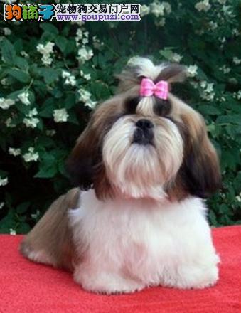 可爱西施出售一健康可爱一正规犬舍一签协议质保
