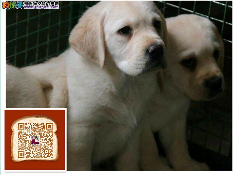 纯种拉布拉多犬,赛级拉布拉多犬,终身包品质可签协议