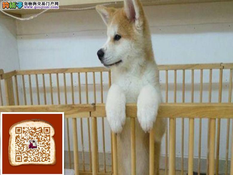 出售纯种日秋田犬 血统纯正 品相极佳 可签保障协议