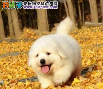 纯种大白熊犬温顺大型伴侣犬 防疫驱虫已做