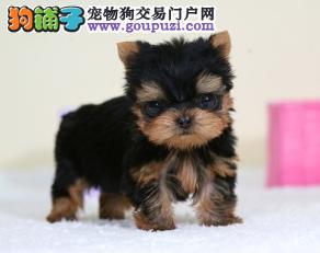 女生最爱养纯种玩具大眼睛约克夏犬,体质健康